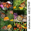 Monarch Butterfly Collage on Black background - stock photo