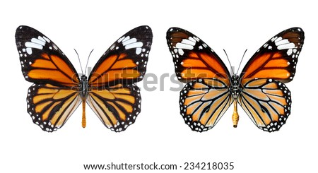 Monarch Butterfly, Common Tiger Butterfly isolated on white background (Danaus genutia) - stock photo