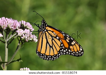 Monarch Butterfly Danaus plexippus - stock photo