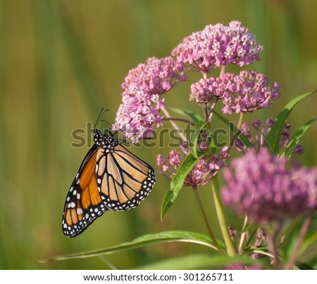Monarch butterfly (danaus plexippus) clinging to pink flowers of swamp milkweed (asclepias incarnata)