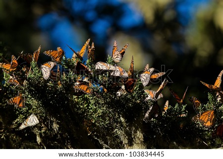 Monarch Butterfly (Danaus plexippus).  Monarch Butterflies cluster together on the pines and eucalyptus trees during their migration to overwinter in Monarch Grove Sanctuary, Pacific Grove, CA. - stock photo