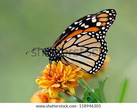 Monarch butterfly (Danaus plexippus) on garden flowers during autumn migration. Natural green background. - stock photo