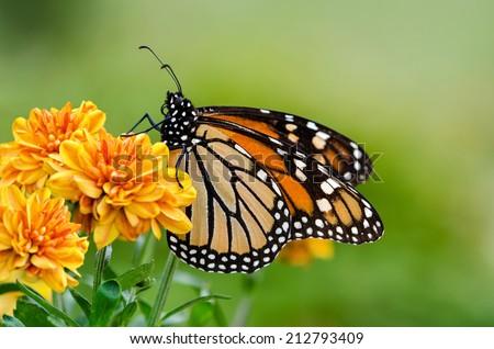 Monarch butterfly (Danaus plexippus) on orange garden flowers during autumn migration. Natural green background. - stock photo