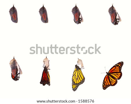 Monarch butterfly emerging from chrysalis, eight stages. Isolated over a white background.