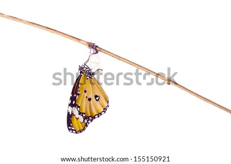 Monarch butterfly emerging from its chrysalis on white background - stock photo