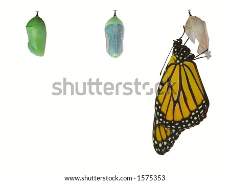 Monarch butterfly emerging from pupa.