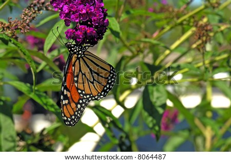 Monarch butterfly feeding on purple flower with copy-space - stock photo