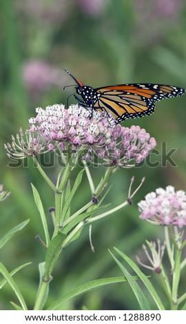 Monarch Butterfly feeding on Swamp Milkweed Flowers - stock photo
