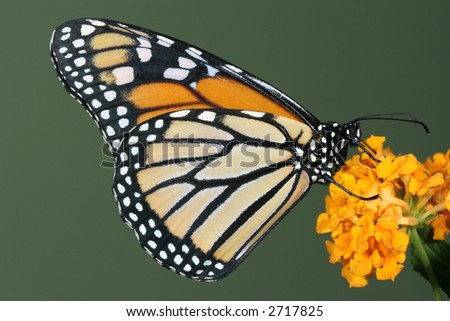 Monarch butterfly feeding on yellow flower - stock photo