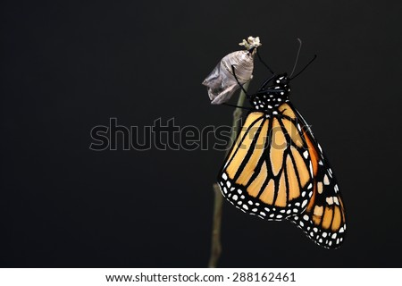 Monarch butterfly hanging on his chrysalis. Nice black background for text. - stock photo