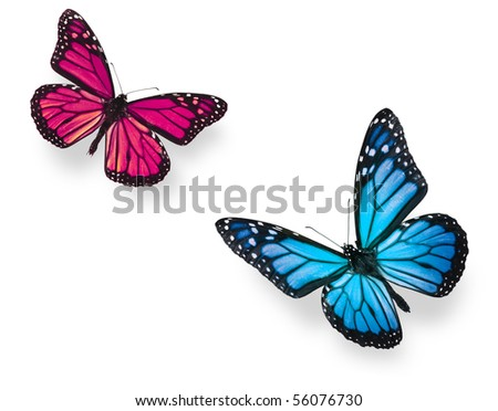 Monarch butterfly in flying positions in bright blue and vivid pink. Isolated on white, studio shot. - stock photo