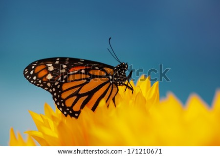 Monarch butterfly in sunflower flower. Macro closeup, shallow DOF. - stock photo