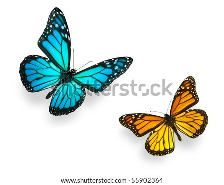 Monarch butterfly in various flying positions in bright blue and vivid orange. Isolated on white, studio shot. - stock photo