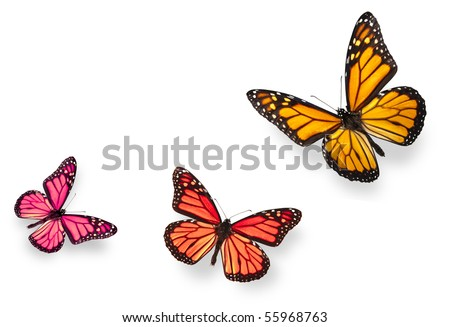 Monarch butterfly in various flying positions in bright pink red and vivid orange. Isolated on white, studio shot. - stock photo