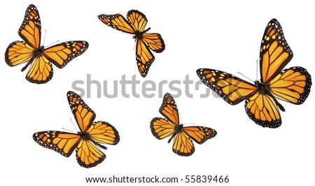 Monarch butterfly in various flying positions. Isolated on white, studio shot. - stock photo