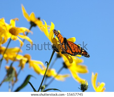 Monarch butterfly in yellow flowers and blue sky. - stock photo