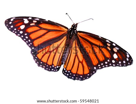 Monarch Butterfly Isolated on White - stock photo
