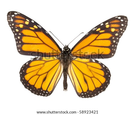 Monarch butterfly isolated on white background. Each with wing in ciritical focus. - stock photo