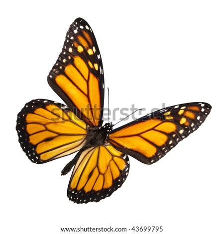 Monarch Butterfly Isolated on White. No shadow for easy isolated use on any background. - stock photo