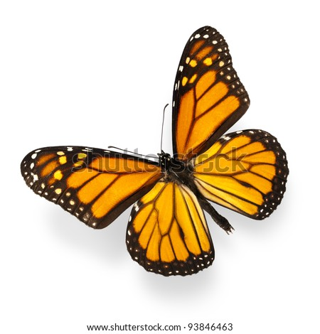 Monarch Butterfly Isolated on White Ultra-High Resolution - stock photo