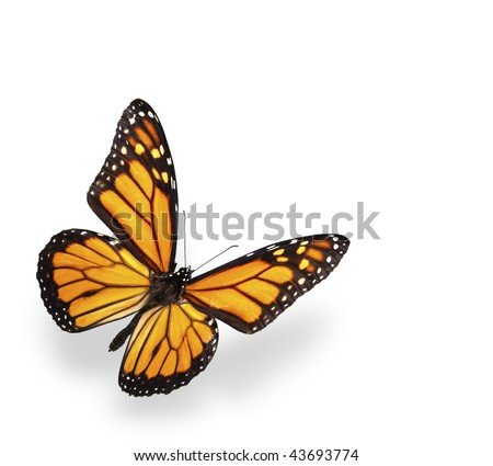 Monarch butterfly isolated on white with soft shadow - stock photo