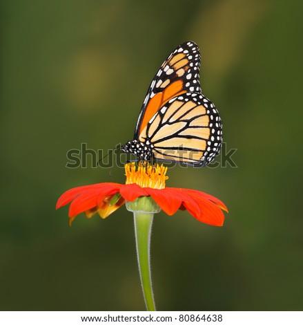 Monarch Butterfly On A Red Flower,  Danaus plexippus - stock photo
