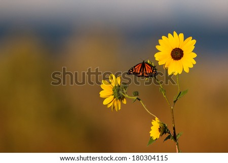 Monarch Butterfly on a sunflower at sunrise - stock photo