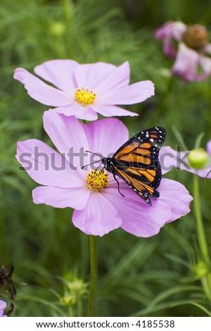 Monarch Butterfly on Flower - stock photo