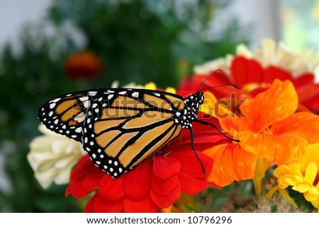 Monarch Butterfly on Flowers. - stock photo