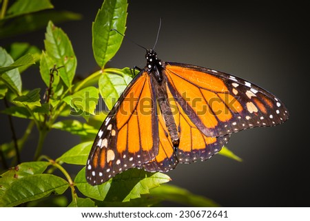 Monarch Butterfly on leaf. - stock photo