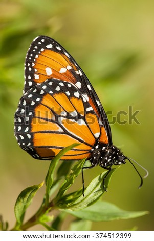 Monarch butterfly on leaves with green background
