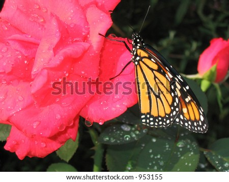 Monarch butterfly on pink rose - stock photo