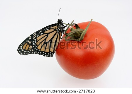 Monarch butterfly on red tomato - stock photo