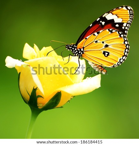 monarch butterfly on roses - stock photo