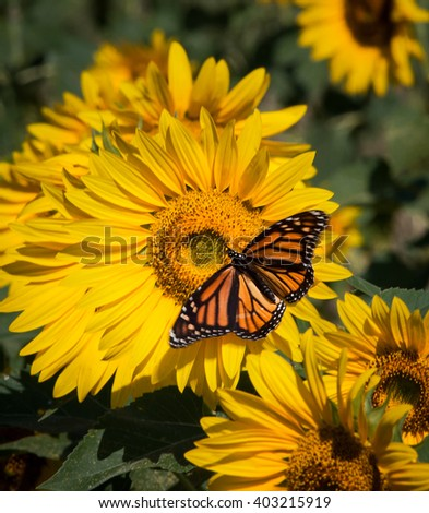 Monarch butterfly on sunflower on summer day - stock photo