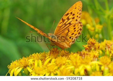 monarch butterfly on the flower close-up macro - stock photo
