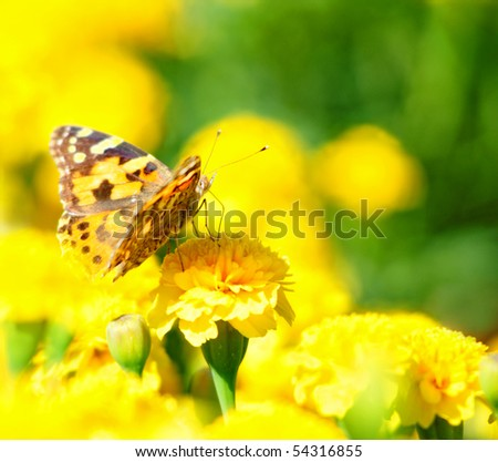 monarch butterfly on the yellow marigold in highkey - stock photo