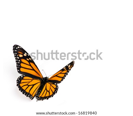 Monarch Butterfly on White Background - stock photo