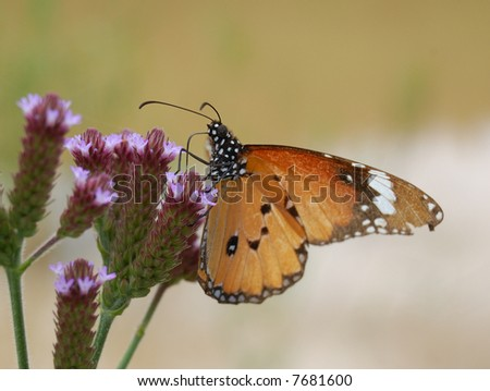 Monarch butterfly on Wild flower - stock photo