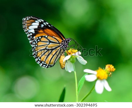 Monarch butterfly on wild flower, natural background, macro. - stock photo