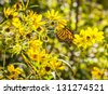 Monarch butterfly on wildflowers. - stock photo