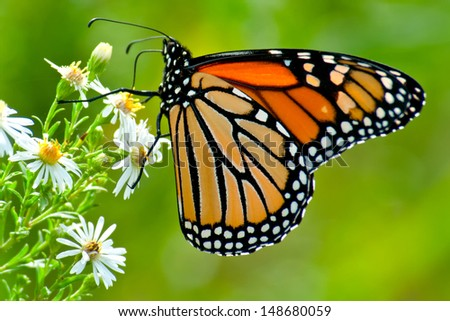 Monarch Butterfly perched on a flower. - stock photo