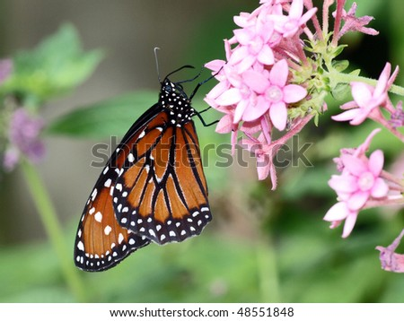 Monarch butterfly perched on some flowers - stock photo