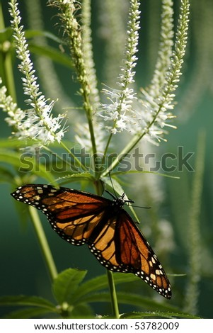Monarch butterfly resting on white flower with green background. - stock photo