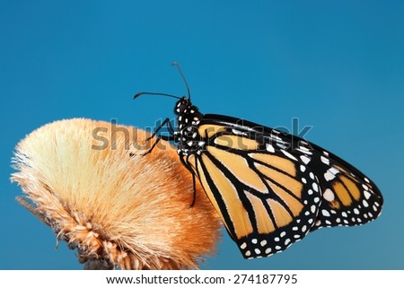 Monarch butterfly sitting on a seeded flower pod with a blue background