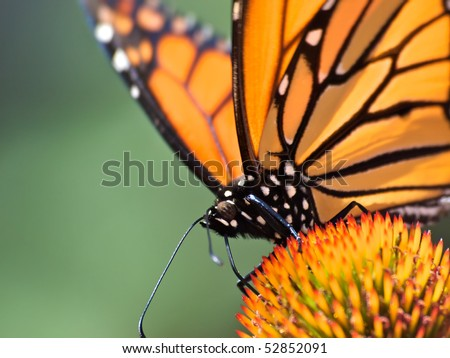 Monarch Butterfly sitting on cone flower. Close up head shot with selective focus on butterfly eye. Soft green background,room for text. - stock photo