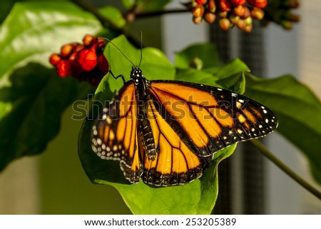 Monarch butterfly sitting on green leaf in early morning sunlight - stock photo