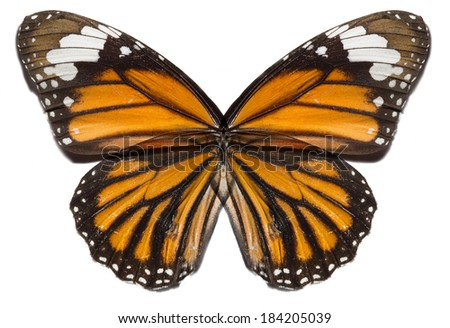 monarch butterfly wings isolated - stock photo