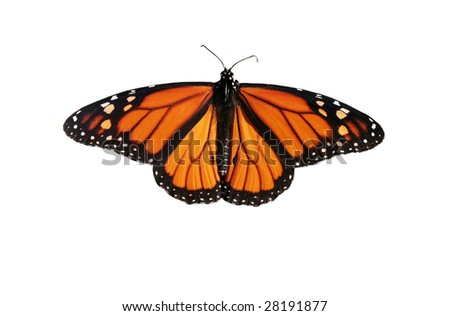monarch butterfly with clipping path - stock photo
