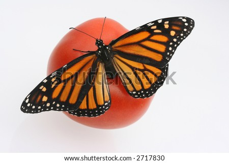 Monarch butterfly with open wings on red tomato - stock photo